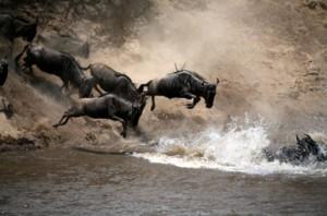 Kenyan Wildebeest