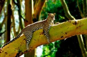 Kenyan Leopard