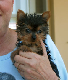 My mom and Lily when she first came home. (mischievous & WICKED Yorkie)