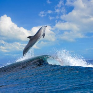 Wild dolphin flying